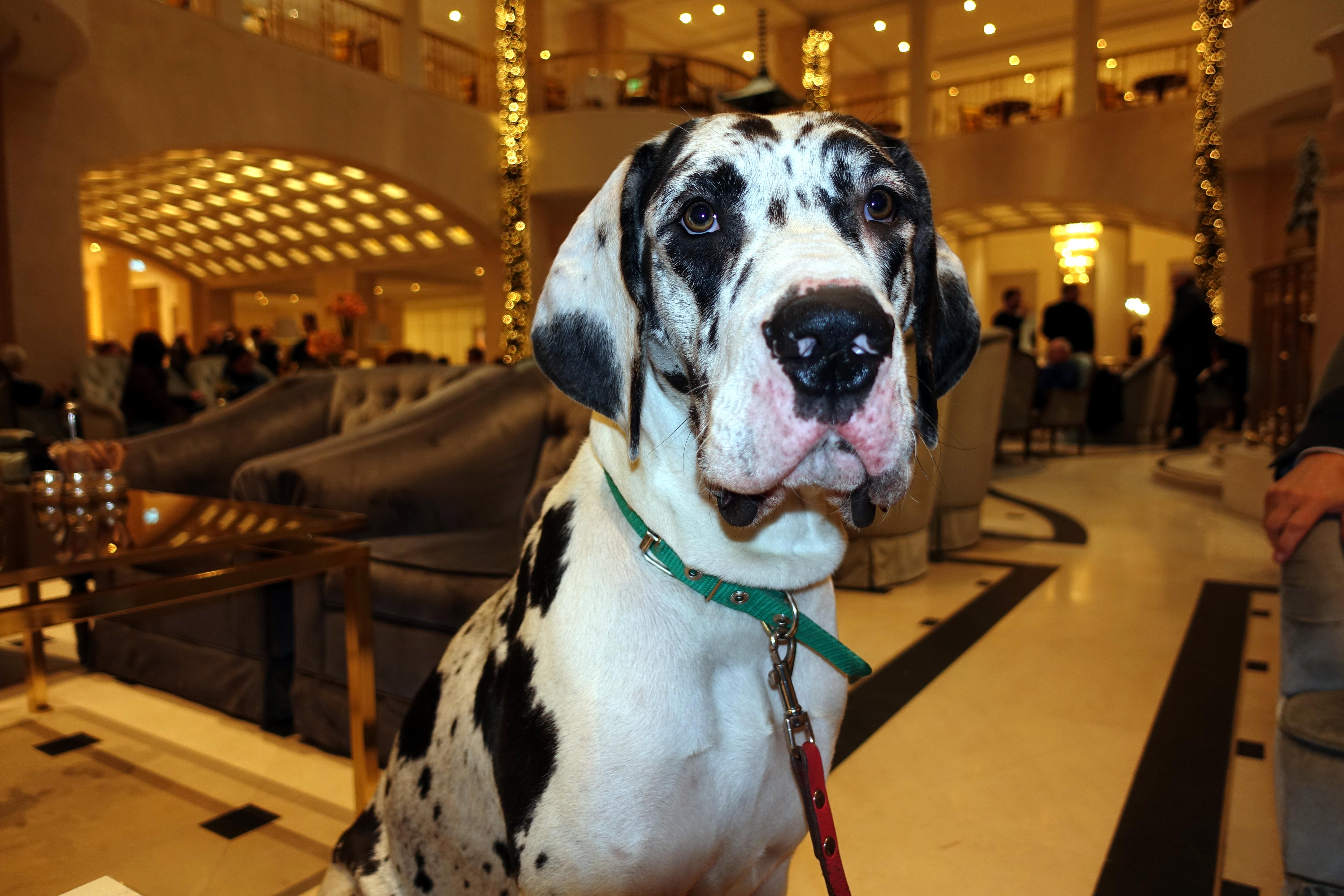 Die Deutsche Dogge im Berlin Test. Ein Begleithund für den